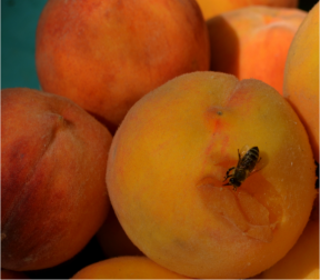 Honey bee on peaches